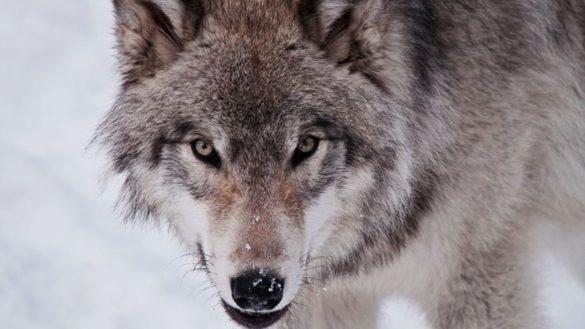sigma male lone wolf