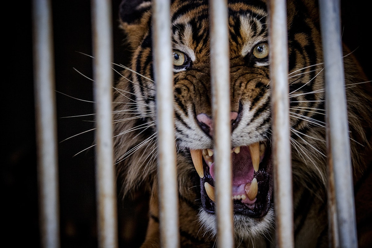 trapped tiger